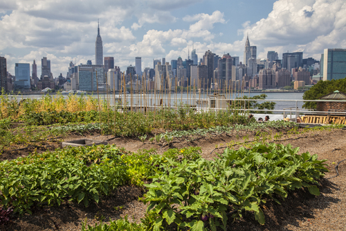 Eagle Street Rooftop Farm is a 6,000 sq ft rooftop urban farm in Greenpoint, Brooklyn overlooking the East River and the Manhattan skyline