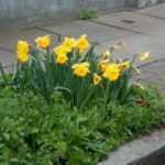 Planting Daffodils in City Sidewalk Tree Pits (and The Daffodil Project)