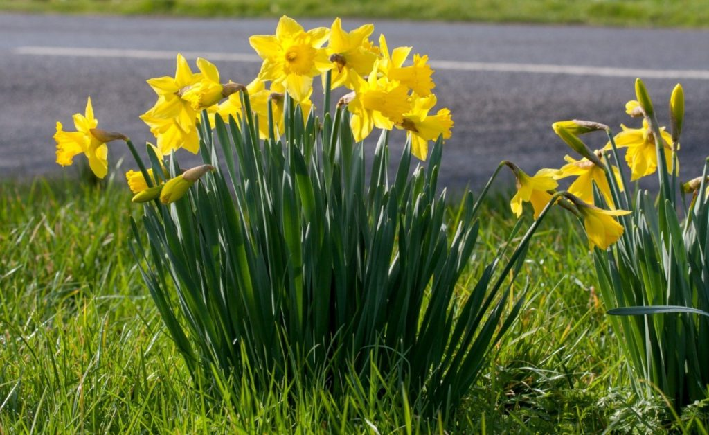growing-daffodil-bulbs-sidewalk-tree-pits-need-know-5