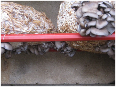 How to Grow Oyster Mushroom at Home 6